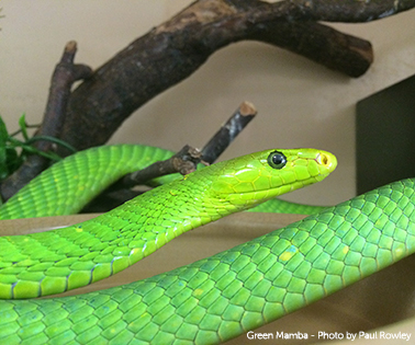 SRPNTS-snakebite-green-mamba