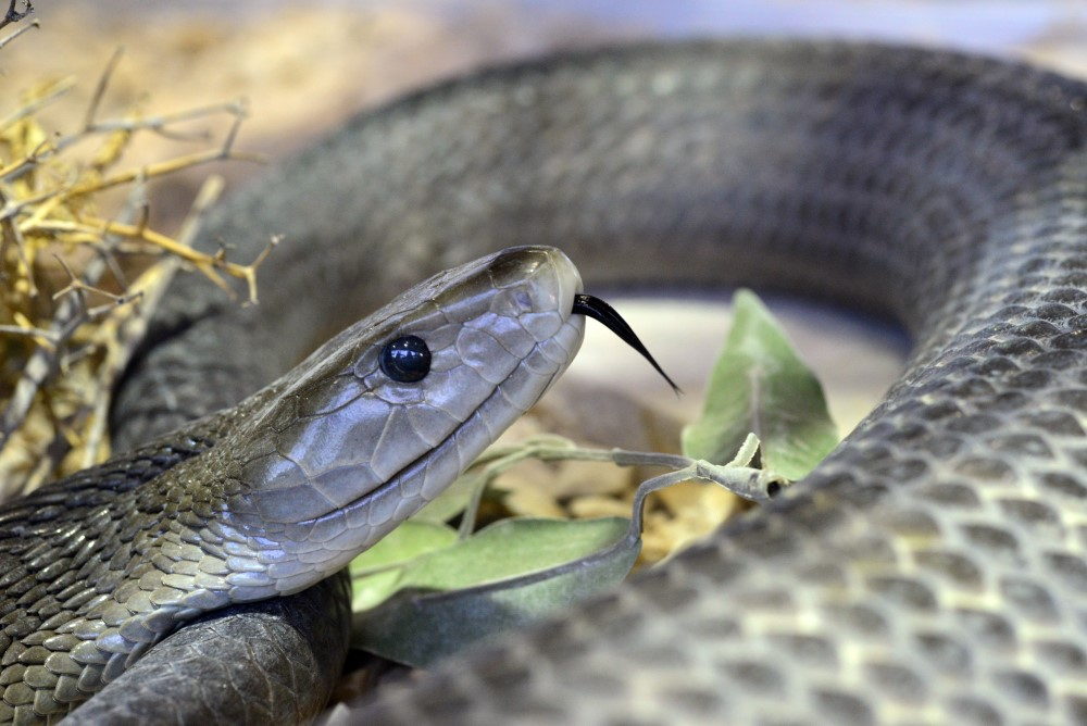 antibodies snakebite black mamba